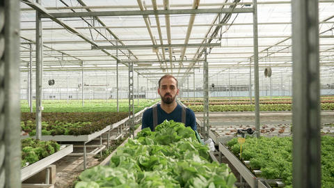 Agricultor pushing a cart with green salad in a greenhouse GIF