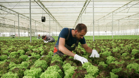 Farmer inspecting the growth of green salad Live Action