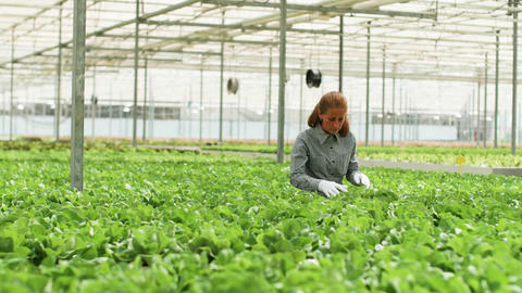 Female agronomist inspecting a culture of green salad Live Action