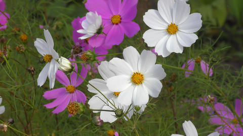 Flower Kosmeya or flower cosmos Live Action