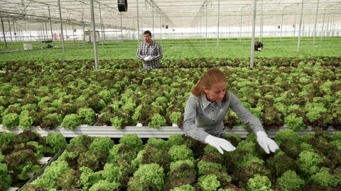 Female farm worker inspecting green salad in a greenhouse Live Action