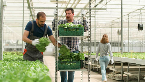 Farm worker in a modern greenhouse harvesting green salad Footage