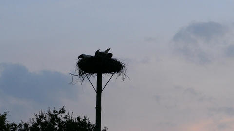 Mother carries her baby storks and fly away Live Action