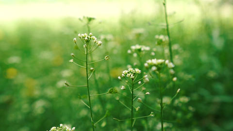 Lovely green field with white flowers on a sunny day in summer in slo-mo Live Action