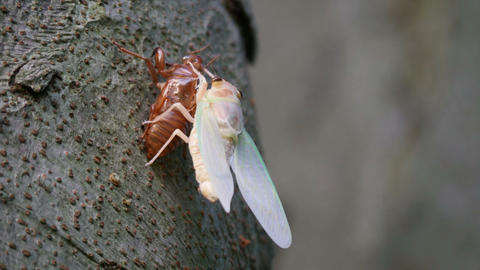 Adult emergence of cicada Live Action