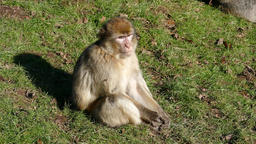 Monkey sitting on the lawn Footage