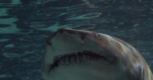 Portrait of a Grey Nurse Shark, Ragged-Tooth Shark, Sand Tiger Shark Live Action