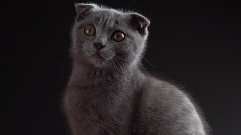 British scottish fold cat close up portrait Live Action