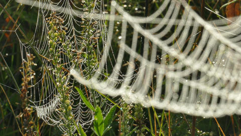 Autumn wind sways cobwebs tangled with stems of dry grass with drops of Footage