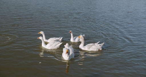 White ducks in the river. Domestic Duck, reflection in water. Wild duck closeup Live Action