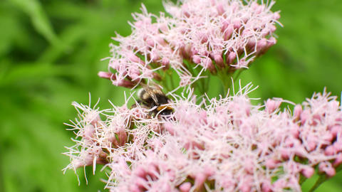 Bumblebee pollinates a bush with flowers Live Action