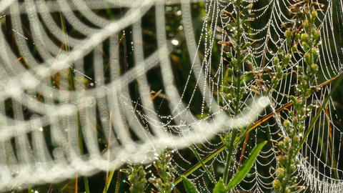 Drops of dew on a web in the branches of the dry grass Footage