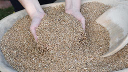 Woman inspecting organic grains of rye Live Action