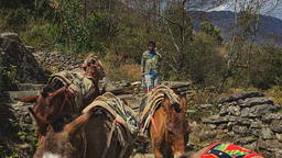 NEPAL – MARCH 18 2016: Herder walking mules herd mountain road HD video Footage