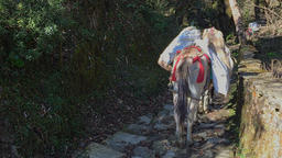 Laden mules go on a mountain rock road of Nepal Himalayas HD video Footage