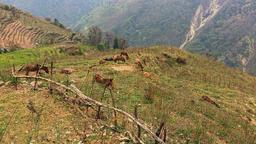 Farming Himalayas Nepal mountains HD video. Village animals: mules pasture Footage