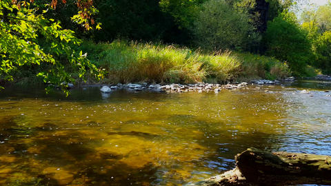 Beautiful Scenic View of Large Fish Swimming in River. Salmon Run in Water Surrounded by Forest Footage