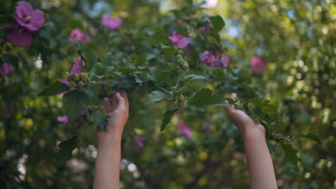 Close up of female hands touching purple hibiscus flowers. Female hands gently Live Action