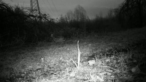 European Hare (Lepus Europaeus) in an urban grass in the night Footage
