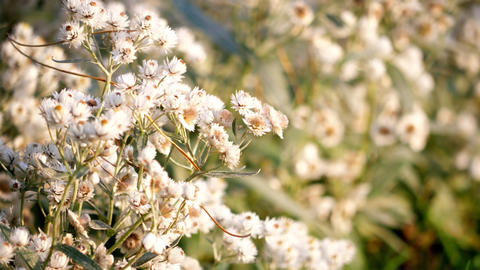 Beautiful Little White Flowers Moving In The Wind Seamlessly Looping Nature Video Background Footage