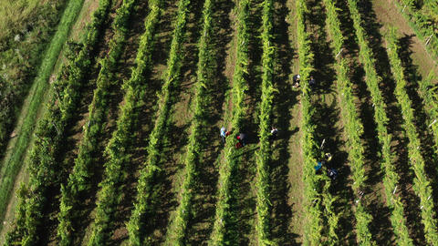 Harvesting grapevine in vineyard, aerial view of winery estate in Europe Footage