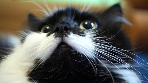 Black and White Domestic Cat Live Action