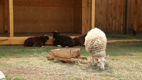 Sheep graze on the village metochion Footage