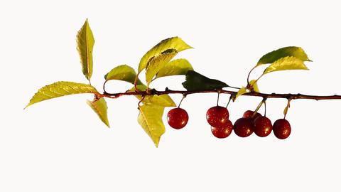 Cherry tree. Closeup Filmmaterial