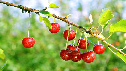 Cherry-tree. Closeup Footage