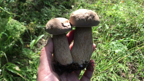 picking up collecting mushrooms boletus growing in the forest personal Footage