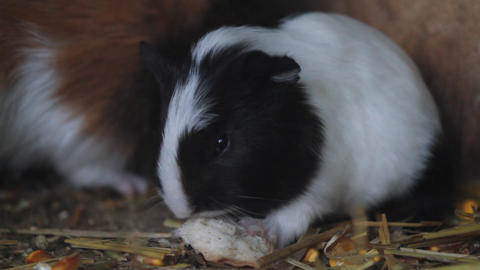 Guinea pig rodent eating Live Action