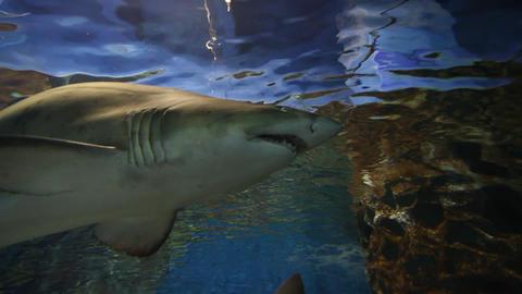 Tiger sand shark Live Action