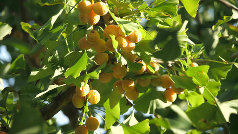 Tokyo,Japan-September 24, 2019: Ripe ginkgo nuts under morning sun in autumn Live Action