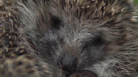 The muzzle of a wild hedgehog is a close-up. Hedgehog in nature Live Action