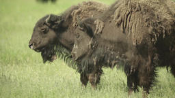 Bison in a field on pasture. Slow motion Archivo