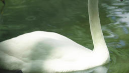 White swan on the lake. Close-up Archivo