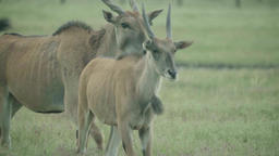 Antelope (antelope) in a field on pasture Archivo