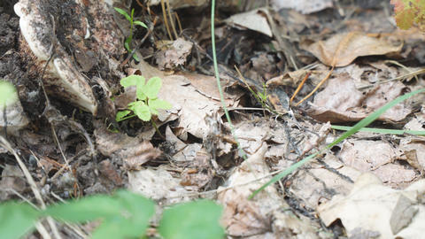 Black ants on dry leaves in forest Footage