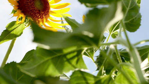 SoniaSunflower#13ソニア向日葵#13 Stock Video Footage