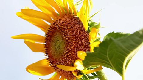 SoniaSunflower#15ソニア向日葵#15 Stock Video Footage