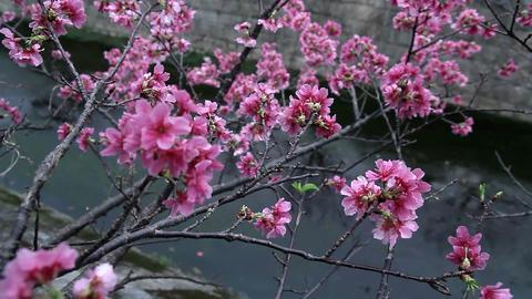 サクラ・ヤエ#2sakura・yae#2桜 Footage