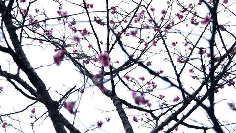 サクラ・ヤエ#4sakura・yae#4桜 Footage