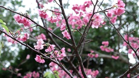 サクラ・ヤエ#6sakura・yae#6桜 Footage