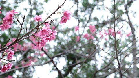 サクラ・ヤエ#6sakura・yae#6桜 Stock Video Footage