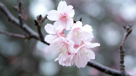 サクラ・ヤエ#14sakura・yae#14桜 Footage