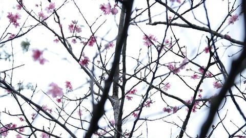 サクラ・ヤエ#16sakura・yae#16桜 Footage