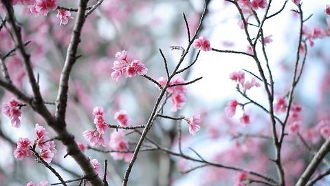 サクラ・ヤエa#2 sakura・yae_a#2桜 Footage