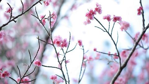 サクラ・ヤエa#2 sakura・yae_a#2桜 Stock Video Footage
