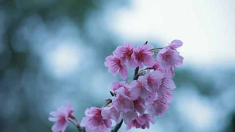 サクラ・ヤエa#4 sakura・yae_a#4桜 Stock Video Footage