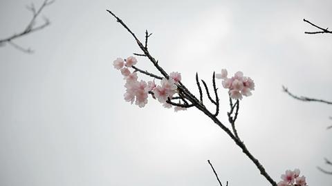 サクラ・ヤエa#8 sakura・yae_a#8桜 Stock Video Footage
